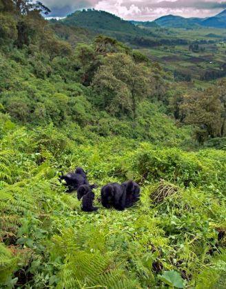 Mountain Gorilla (Gorilla beringei beringei) in habitat Virunga Mountains, Rwanda